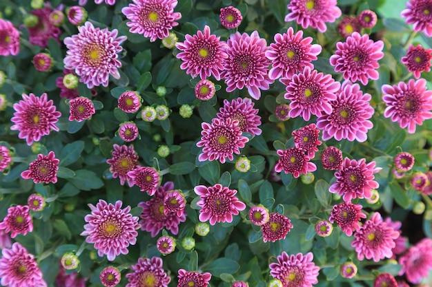 菊の冬の背景 Premium写真