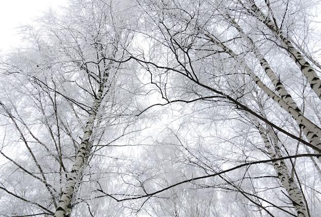Winter birch trees Premium Photo