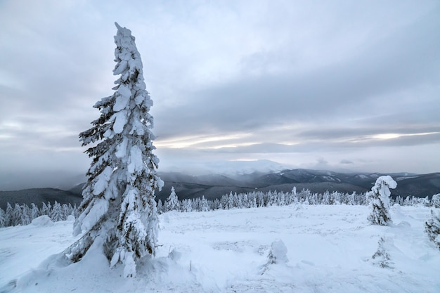 Winter blue landscape. spruce tree in deep snow on mountain clearing on cold sunny day on copy space background of cloudy sky. Premium Photo