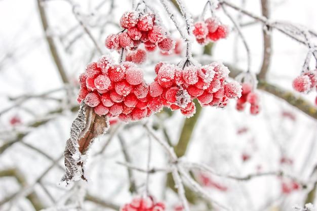 雪の下で冬の冷凍ガマズミ属の木。雪の中のガマズミ属の木。初雪。秋と雪。美しい冬 Premium写真