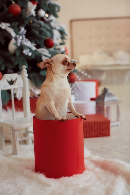 Winter holidays decorations. funny little dog chihuahua sits Free Photo