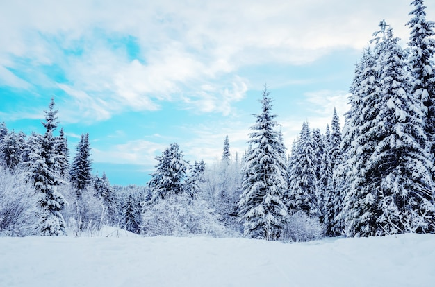 Winter landscape: snow-covered coniferous trees on a background of blue sky. Premium Photo