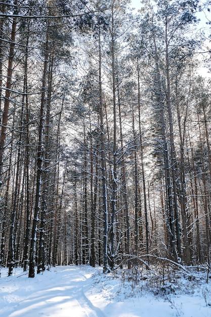 松林と雪道のある冬の風景、冬のロマンチックな晴れた日 Premium写真