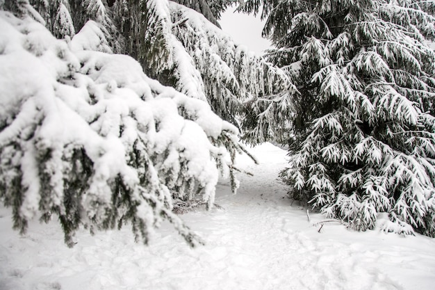 Winter mountain landscape. mountains in the snow. the first snow in the mountains. first frost in the carpathian mountains.tall christmas trees under heavy snow Premium Photo