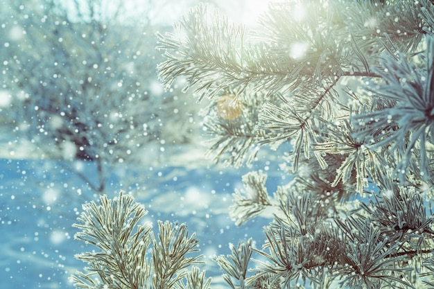 Winter natural background of tree branches in hoarfrost with sunlight Premium Photo