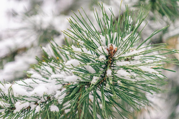 冬の壁。天然の松の木の枝が森の雪を覆っていました。冬の寒い日。 Premium写真