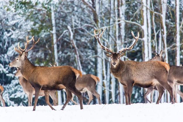 Winter wildlife landscape with noble deers cervus elaphus, Premium Photo