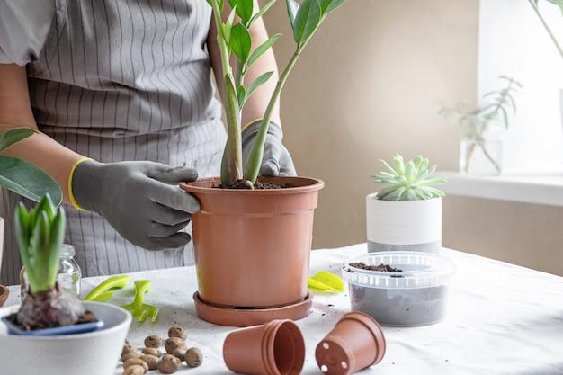 女性庭師移植植物。家の園芸および鍋に花を植えることの概念は、家の装飾を植える Premium写真