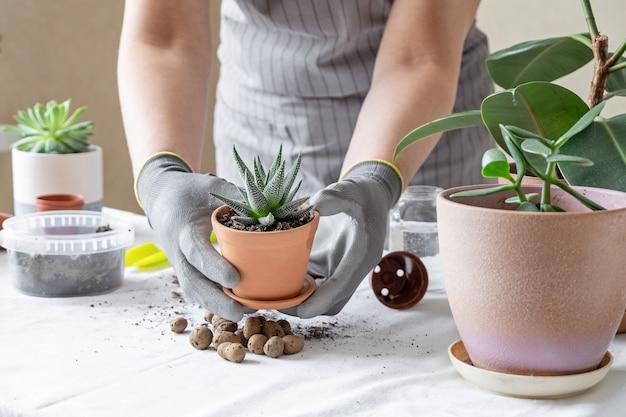 女性庭師移植多肉植物。家の園芸および鍋に花を植えることの概念は、家の装飾を植える Premium写真