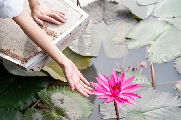 水中の緑の葉にピンクのスイレンの花ピンクのnymphaea蓮と女性の手 Premium写真