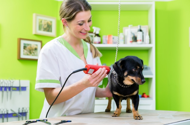 Woman is shearing dog in pet grooming parlor Premium Photo