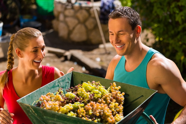 Woman and man working with grape harvesting machine at vintage and having fun Premium Photo