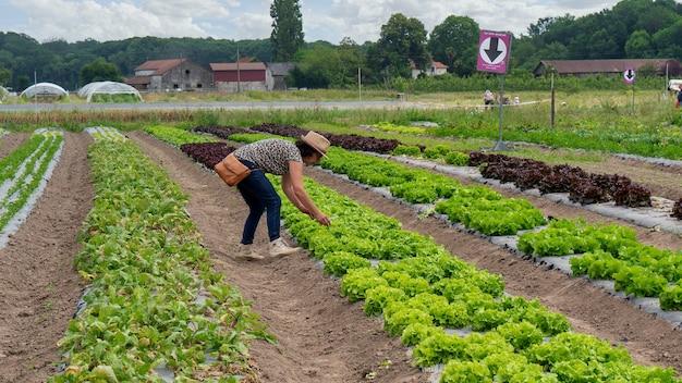 Женщина, собирающая салат в поле Premium Фотографии