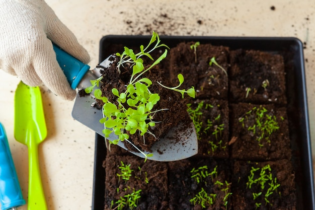Woman's hands planting sprouts in pot with dirt or soil in container Premium Photo