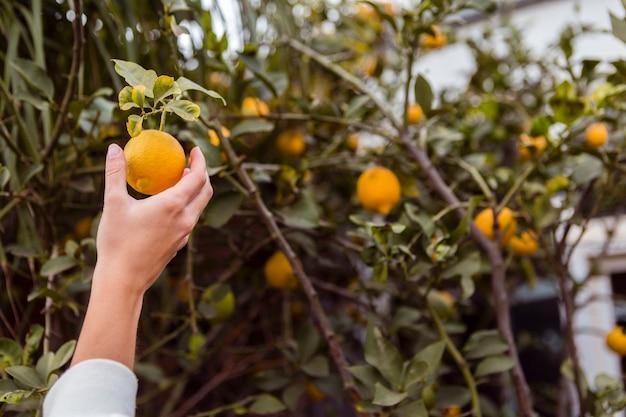 Женщина берет лимон из лимонного дерева Бесплатные Фотографии