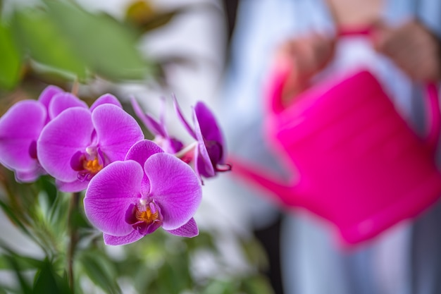 Woman watering home plants using a watering can. watering orchid flower at home Premium Photo