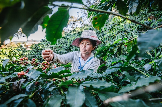 Women from thailand picking red coffee seed on coffee plantation at doi chang , chiang rai, thailand. Premium Photo