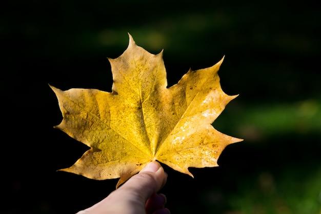 Women holds autumn yellow maple leaf Premium Photo