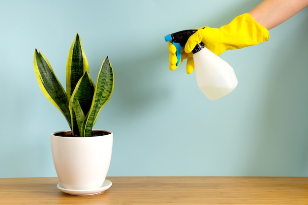 Women's hands in gardening gloves spray plants. trending flower snake plant sansevieria trifasciata on blue background Premium Photo