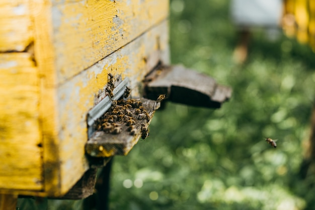 A wooden hive full of bees in the apiary Premium Photo