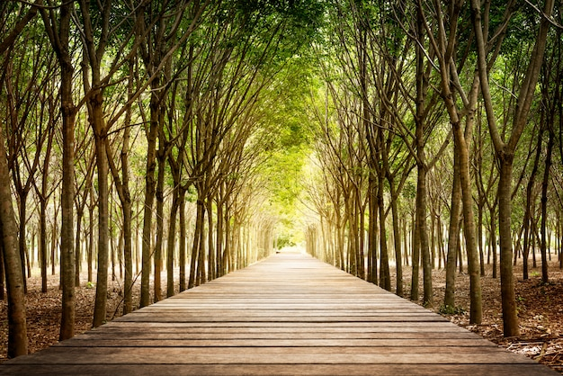 Wooden walkway and rubber tree Premium Photo