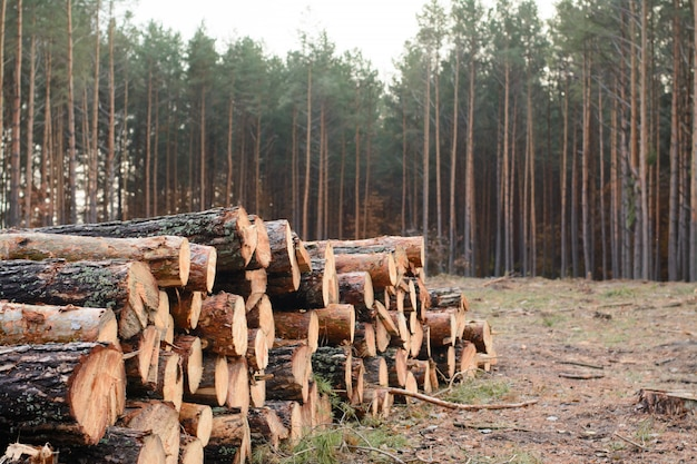 Woodpile of freshly harvested pine logs lays near the pine forest Premium Photo