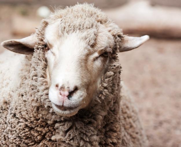 Woolly sheep in zoo Premium Photo