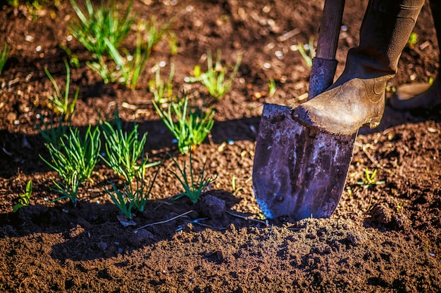 Worker digs the black soil with shovel in the vegetable garden Premium Photo