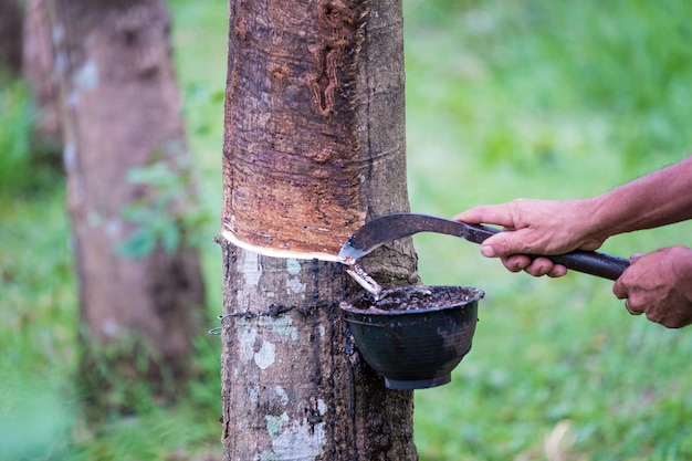 Worker farmers hands tapping latex from a rubber tree with knife, in the early morning. Premium Photo