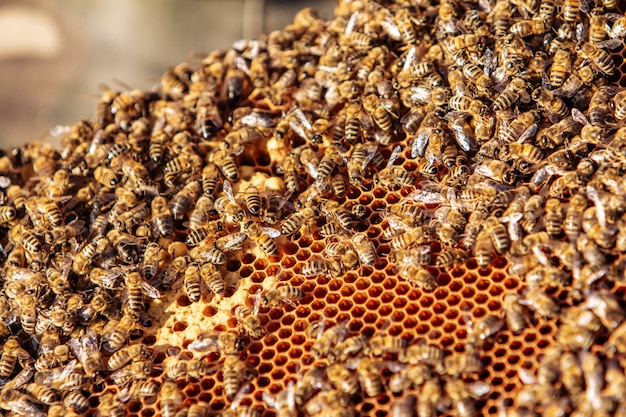 Working bees on honeycomb Premium Photo