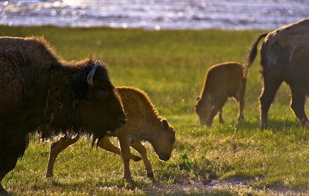 Wyoming bisons Free Photo