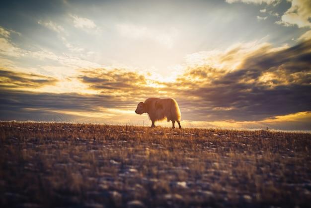 Yak ( bos mutus) on grass field at sunset in olkhon island, baikal, russia. Premium Photo
