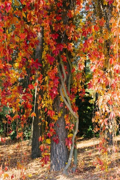 Желтые и красные листья дикого винограда свисают с дерева Premium Фотографии