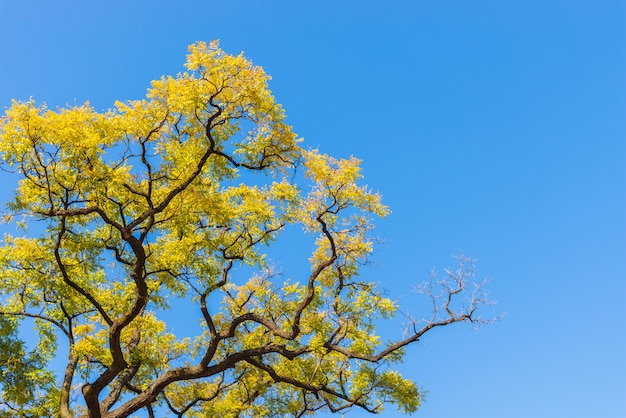 Yellow autumn leaves on blue sky background. Premium Photo