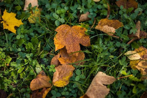 Желтые осенние кленовые листья на зеленой траве. осенний сезон. Бесплатные Фотографии
