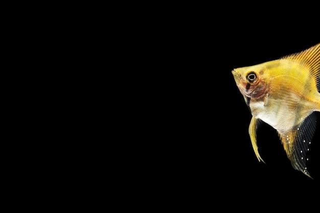 Yellow beautiful betta fish isolated black background Free Photo