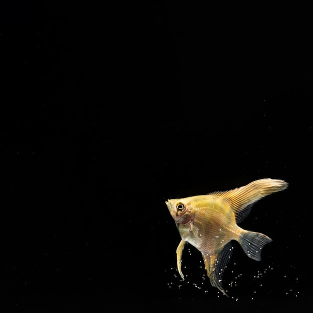 Желтая рыба бетта с копией пространства Бесплатные Фотографии