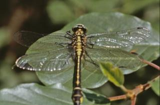 Yellow and black dragonfly, bug Free Photo