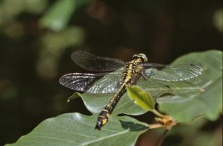 Yellow and black dragonfly Free Photo