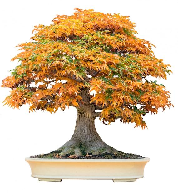 Yellow Bonsai Maple Tree Acer Palmatum Bonsai Tree Of