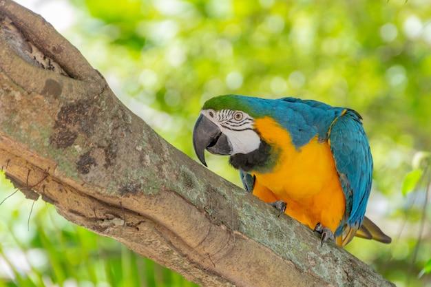リオデジャネイロで木の幹に黄色い胸のコンゴウインコ。 Premium写真