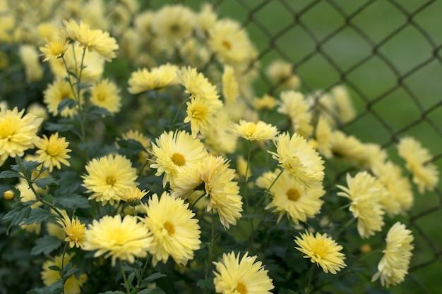 秋の庭、自然秋の花の背景に黄色の菊。 Premium写真