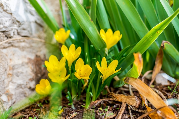 Yellow crocus flowers photo premium download yellow crocus flowers premium photo mightylinksfo