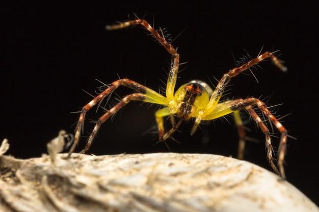 Желтый симпатичный паук (паук хаматалива) на сухом листе Premium Фотографии