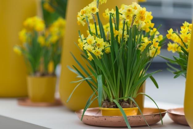 植木鉢に黄色い水仙またはキズイセンと水仙 Premium写真