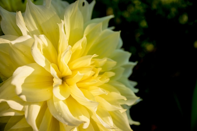 Yellow dahlia isolated.copyspace.autumn yellow flower dahlia on green nature . geometric pattern. mother's day card Premium Photo