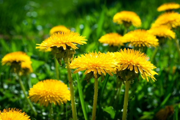 Yellow dandelion flowers with leaves in green grass Premium Photo