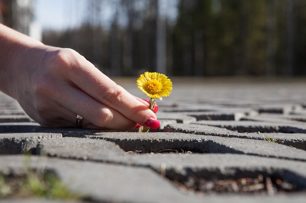 Yellow dandelion growing in the middle of the pavers Premium Photo
