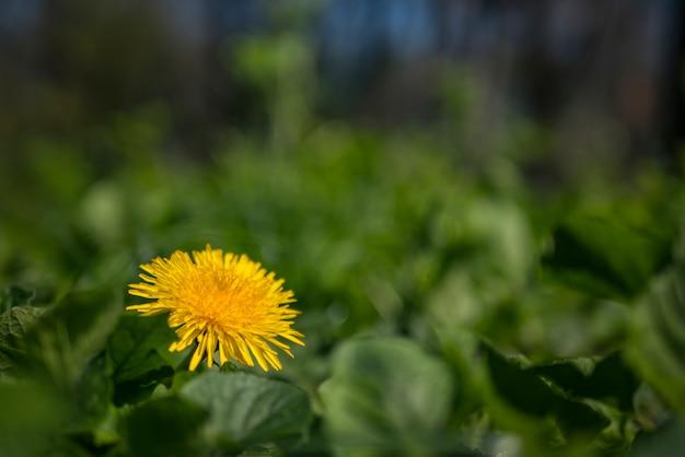 Yellow dandelion Premium Photo