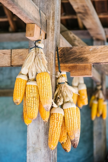 Yellow dry corn hanging Free Photo